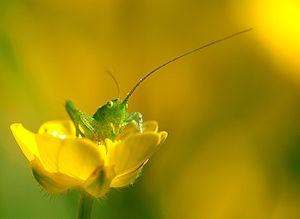 Tettigoniidae and Ranunculaceae