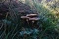 Texel - De Slufter - Macrolepiota procera - Parasol Mushroom - Parasolzwam.jpg