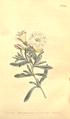 The Botanical Magazine, Plate 459 (Volume 13, 1799).png