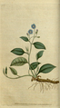 The Botanical Magazine, Plate 7 (Volume 1, 1787).png