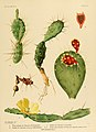 The Cactaceae (Plate XVIII) (6025951147).jpg