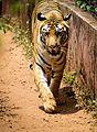 The Majestic Tiger.jpg