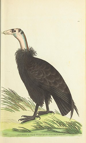 California condor - Frederick Polydore Nodder's illustration accompanying George Shaw's 1797 species description