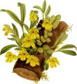 The Orchid Album-01-0026-0007-Promenaea citrina-crop.png