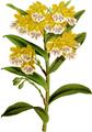 The Orchid Album-02-0081-0074-Epidendrum wallisii-crop.png