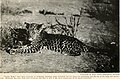 The babyhood of wild beasts (1917) (14750870804).jpg