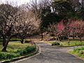 The blossoms of plum trees in Shiba koen park - panoramio.jpg