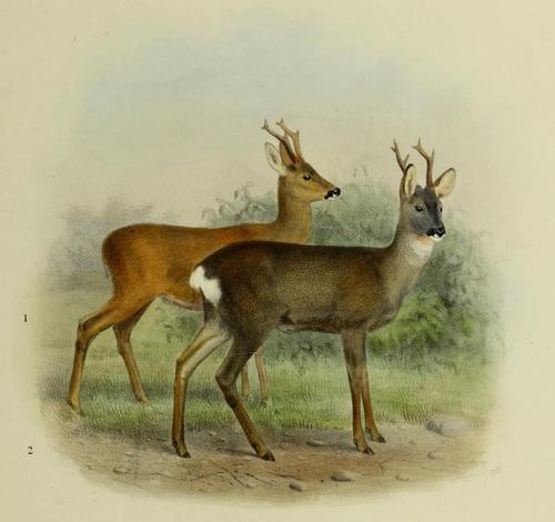 500px the deer of all lands (1898) european roe deer (summer %26 winter pelage)