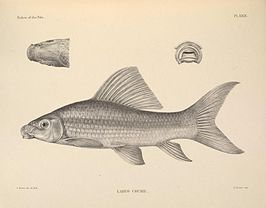 The fishes of the Nile (Pl. XXIX) (6815494932).jpg