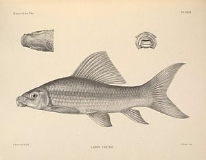 Labeo coubie, Zeichnung aus The fishes of the Nile von  George Albert Boulenger.