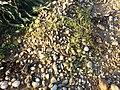 Thesium ramosum sl42.jpg