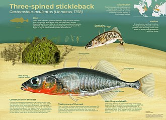 Reproduction of the three-spined stickleback Three-spined stickleback.jpg