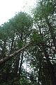 Thuja occidentalis forest 3 Wisconsin.jpg