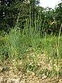 Thymelaea passerina sl70.jpg
