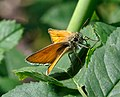 Thymelicus lineola qtl2.jpg