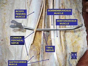 sciatic nerve - wikipedia, Muscles