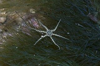 <i>Ophiactis savignyi</i> species of echinoderm