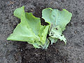 Tipula leatherjacket damage on lettuce, emeltschade bij botersla.jpg