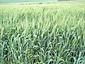 Tirosh Wheat Field.JPG