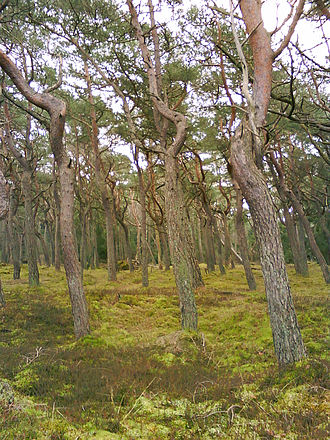 Tisvilde - Pine trees in the protected plantation of Tisvilde Hegn.