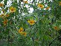 Tithonia diversifolia (5193571351).jpg
