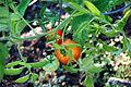 Tomato Plant 1 2012-07-28.jpg