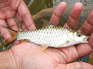 <i>Tor malabaricus</i> Species of fish
