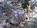 Tortoise In My Field Village Nogama Rajsamand Rajathan.jpg