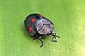 Tortoise beetle (Stolas lebasii).jpg