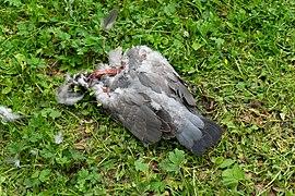 Tote Taube am Bismarckturm Hof 20200620 DSC2439.jpg