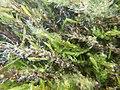 Touffes d'algues vertes filamenteuses dans Les Baillons aout2017 a 05.jpg