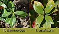 Trachelospermum jasminoides-asiaticum.jpg