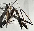 Trachelospermum jasminoides fruits+seeds.jpg