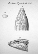 Head of a lizard, seen from above and from the left.