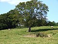 Tree at Thorpe Farm - geograph.org.uk - 554412.jpg