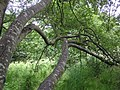 Tree branches, Cranny - geograph.org.uk - 1394905.jpg