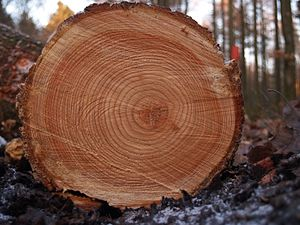 Tree rings seen in a cross section of a trunk ...