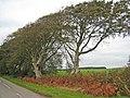 Trees near Limekilns Farm - geograph.org.uk - 572144.jpg