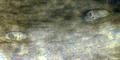 Trichobilharzia.regenti.schistosomula.png