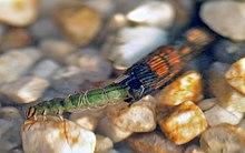 トビケラの幼虫