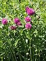 Trifolium alpestre Koniczyna dwukłosowa 2015 01.jpg