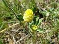 Trifolium campestre flowerhead8 JK (10620899325).jpg