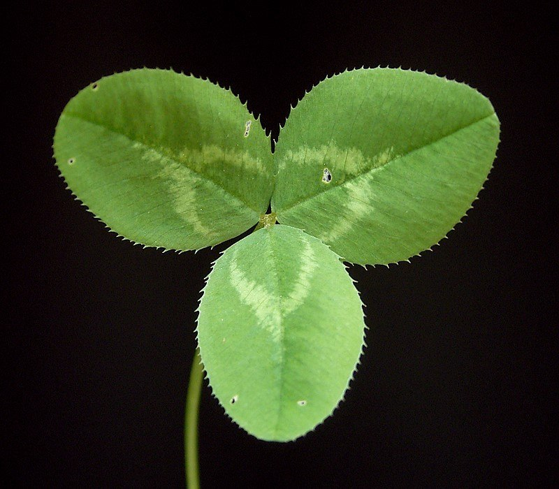 Trifolium repens 07 ies