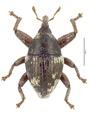 Trigonopterus striatipennis (Lea).tif