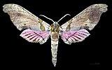 Trogolegnum pseudambulyx MHNT CUT 2010 0 88 Ajusco Mexico male dorsal.jpg