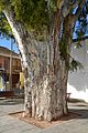Tronc d'eucaliptus al Poble Nou.JPG