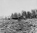 Tropenmuseum Royal Tropical Institute Objectnumber 20007178 Het oogsten van suikerriet op plantag.jpg