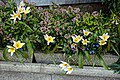 Tulipa saxatilis 'Lilac Wonder' at Myddelton House, Enfield, London.jpg