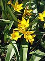 Tulipa urumiensis 080406.jpg