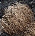 Tumbleweed Kali tragus dry tumbled.jpg